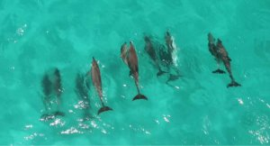 Aerial view of dolphins in shark Bay West australia.