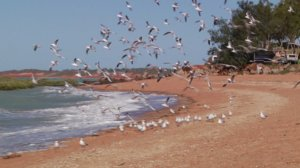 Photograph of birds on town beach, Broome.