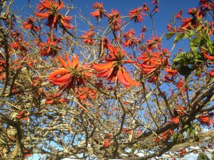 Coral tree in bloom